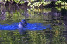 Faszinierendes Tierleben auf Galapagos - paarende Meeresschildkröten